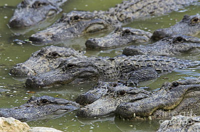 American Alligator Poster by Mark Newman