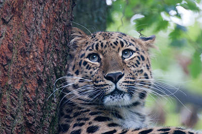Amur Leopard Poster by Chris Boulton