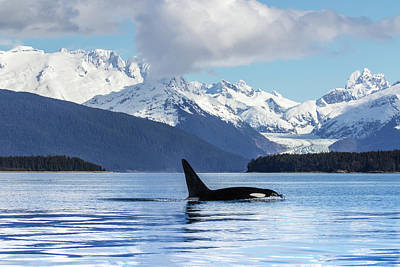 An Orca Whale  Killer Whale   Orcinus Poster