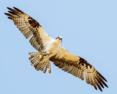 An Osprey Feeding On A Trout Poster