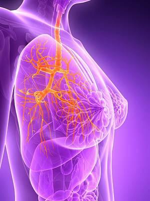 Anatomy Of Female Lungs Poster by Sebastian Kaulitzki