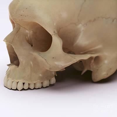 Anatomy Of The Skull Poster