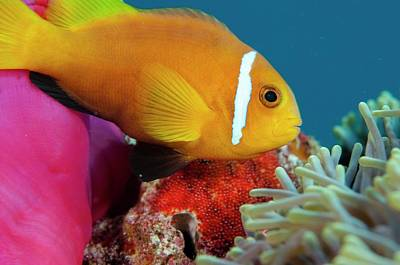 Anemonefish Guarding Eggs Poster by Scubazoo
