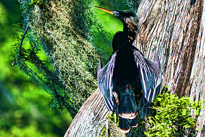 Anhinga On A Cyprus Poster by Frank Feliciano