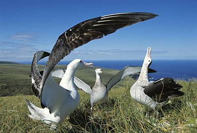 Antipodean Albatross Courtship Display Poster by Tui De Roy