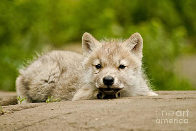 Arctic Wolf Pup Poster by Michael Cummings