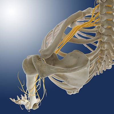 Arm Nerves, Artwork Poster by Science Photo Library