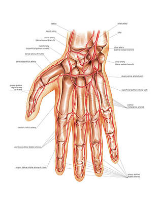 Arterial System Of The Hand Poster by Asklepios Medical Atlas