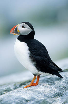 Atlantic Puffin (fratercula Arctica Poster by Richard and Susan Day