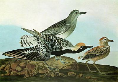 Audubon Plover Poster