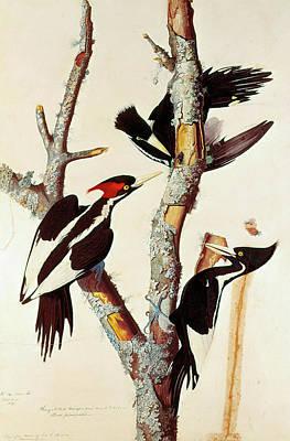 Audubon Woodpeckers Poster by Granger