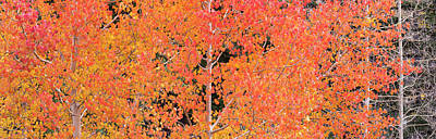 Autumn Quaking Aspen Trees, Boulder Poster by Panoramic Images