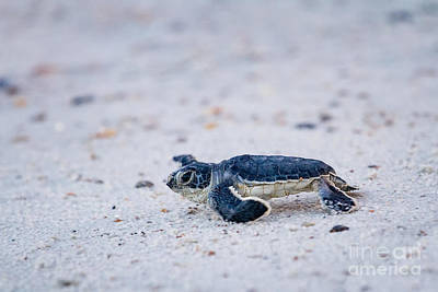Baby Green Sea Turtle Amelia Island Florida Poster