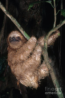Baby Three-toed Sloth Poster