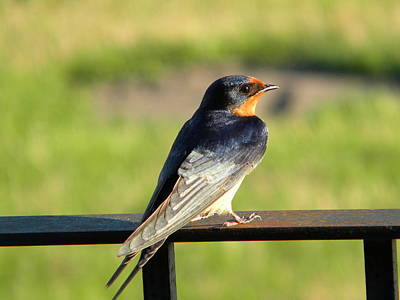 Poster featuring the photograph Barn Swallow by James Petersen