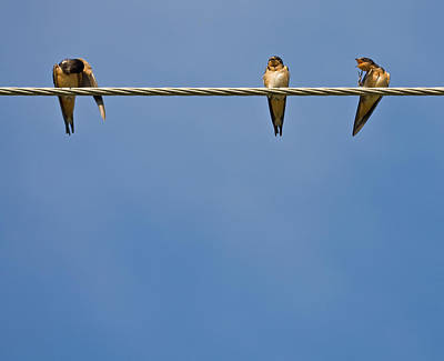 Barn Swallows Poster by Melinda Fawver