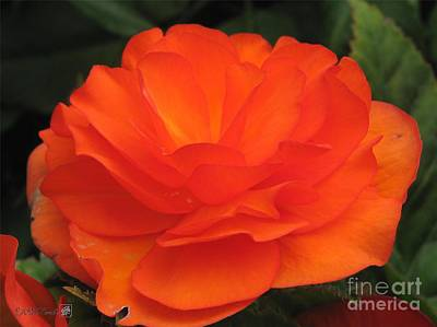 Begonia Named Nonstop Apricot Poster by J McCombie