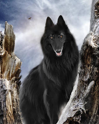Belgian Shepherd Groenendael 2 Poster by Wolf Shadow  Photography