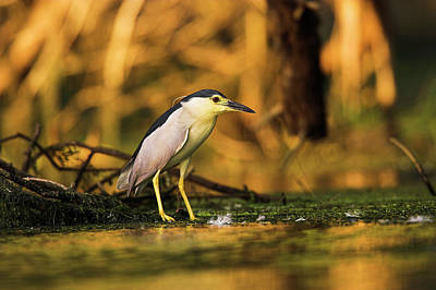 Black-crowned Night Heron (nycticorax Poster by Martin Zwick