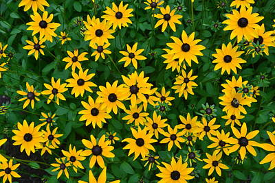 Poster featuring the photograph Black-eyed Susans by Dana Sohr