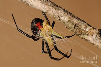 Black Widow Spider Poster