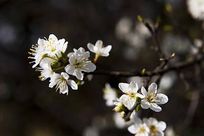 Blackthorn Blossom Poster