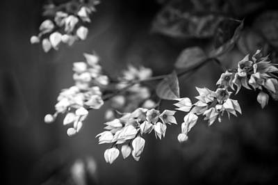 Bleeding Heart Flowers Clerodendrum Painted Bw   Poster by Rich Franco