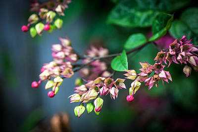 Bleeding Heart Flowers Clerodendrum Painted  Poster by Rich Franco
