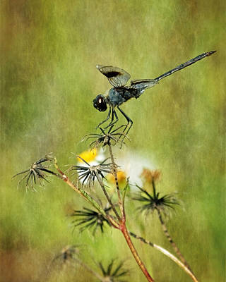 Poster featuring the photograph Blue Dragonfly by Dawn Currie