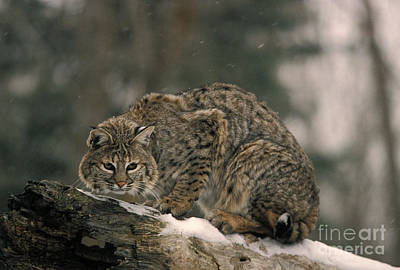 Bobcat Felis Rufus Poster
