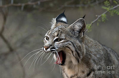 Bobcat Poster by Mark Newman