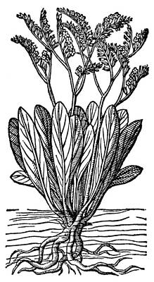 Botany Sea Lavender Poster
