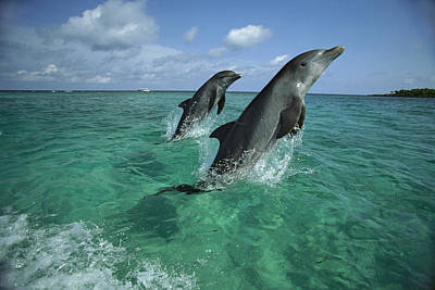 Bottlenose Dolphin Pair Leaping Honduras Poster by Konrad Wothe