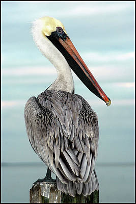 Poster featuring the photograph Brown Pelican by Geraldine Alexander
