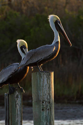 Brown Pelican (pelecanus Occidentalis Poster by Larry Ditto