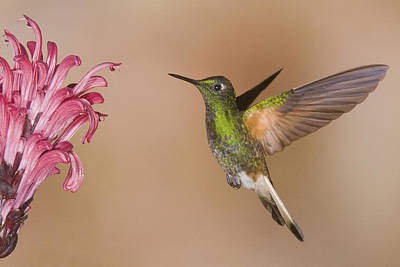 Buff-tailed Coronet Hummingbird Feeding Poster by Steve Gettle