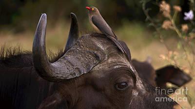 Buffalo And Oxpecker Poster