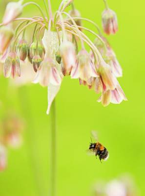 Bumble Bee Gathering Pollen Poster