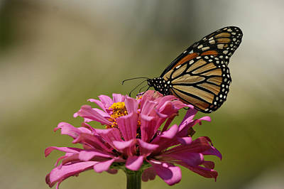 Butterfly On Zinnia Poster by Sandy Keeton