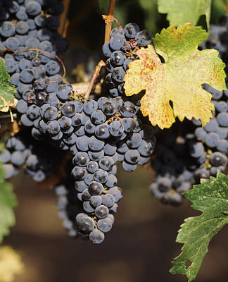 Cabernet Sauvignon Grapes In Vineyard Poster by Panoramic Images