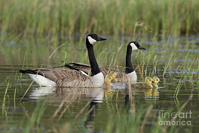 Canada Geese And Goslings Poster by Linda Freshwaters Arndt
