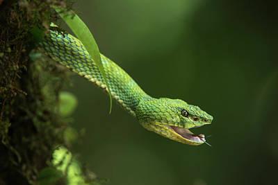 Captive Eyelash Viper (bothriechis Poster