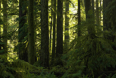 Cathedral Grove, Macmillan Provincial Poster by Robert Postma