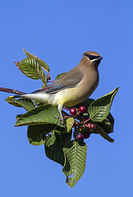 Cedar Waxwing Poster by Angie Vogel