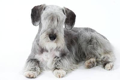 Cesky Terrier Poster by Jean-Michel Labat