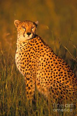 Cheetah Acinonyx Jubatus Jubatus Poster by Art Wolfe