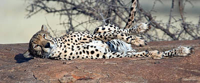 Cheetah Acinonyx Jubatus Resting Poster by Panoramic Images