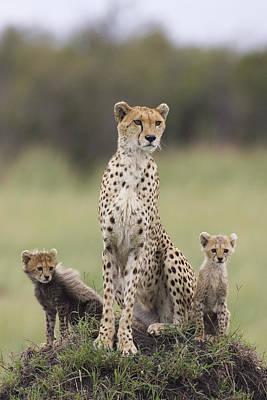Cheetah Mother And Cubs Maasai Mara Poster by Suzi Eszterhas