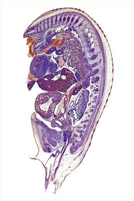 Chicken Embryo Poster by Dr Keith Wheeler