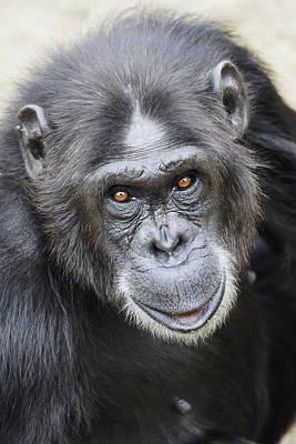 Chimpanzee Portrait Ol Pejeta Poster by Hiroya Minakuchi